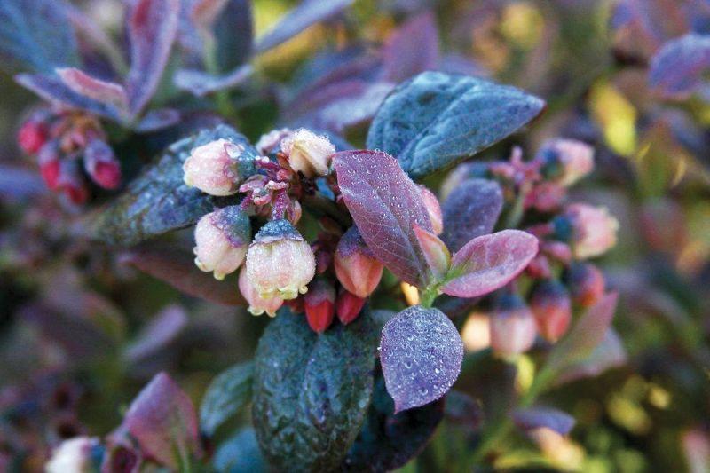 Pięknie kwitnący krzew rozmnożonej borówki